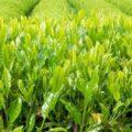 Отличие зелёного чая от чёрного